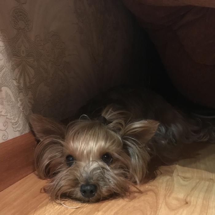 Пироплазмоз у собаки Собака, Лечение от пироплазмоза, Пироплазмоз, Болезнь