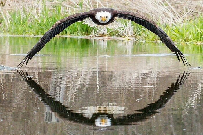 Полет Орлан, Фотография, Полет, Reddit, Не фотошоп, Птицы, Белоголовый орлан