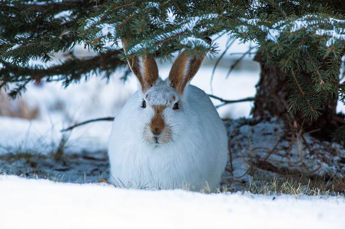 Зайчик. Фотография, Зима, Заяц, Дикие животные, Канада