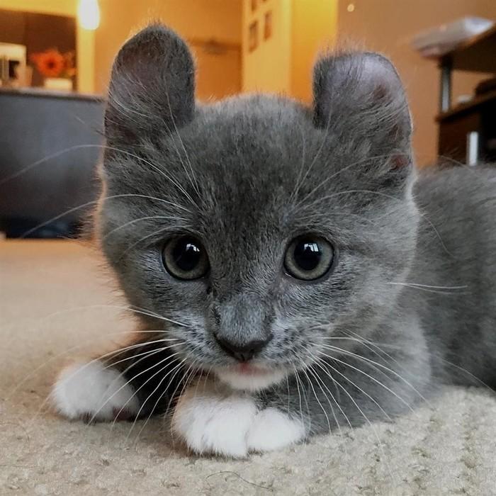 Котомышь. Кот, Милота, Манчкин