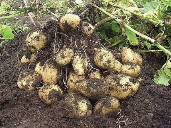 Китайский метод посадки картофеля Дача, Огород, Лайфхак