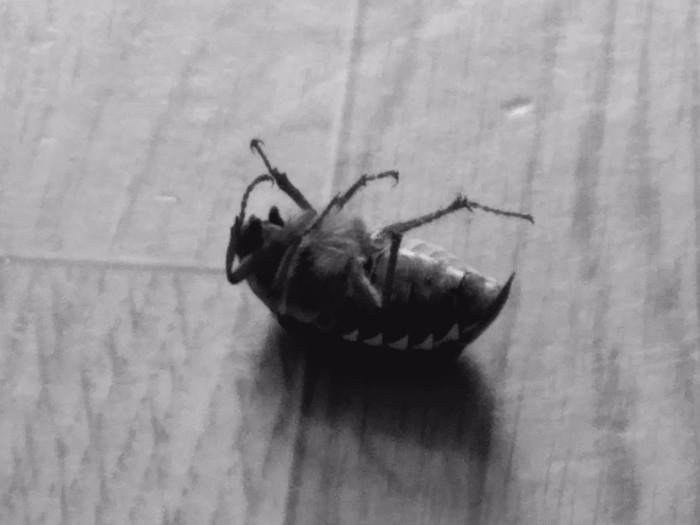 Майский жук Жуки, Смерть