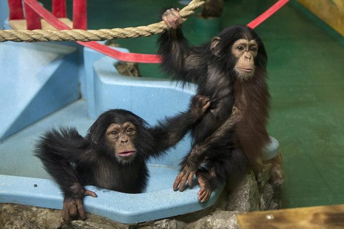 """Как матери обезьян бонобо делают своих сыновей """"круче"""" в обществе Наука, Фауна, Открытие, Ученые, Шимпанзе, Бонобо, Обезьяна"""