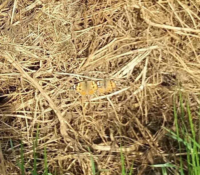Полезная гусеница Лига Сельского Хозяйства, Бабочка, Длиннопост, Гусеница