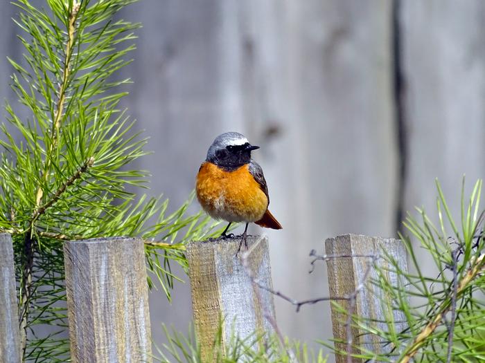 Обыкновенная горихвостка, или горихвостка-лысушка Птицы, Орнитология, Биология, Животные