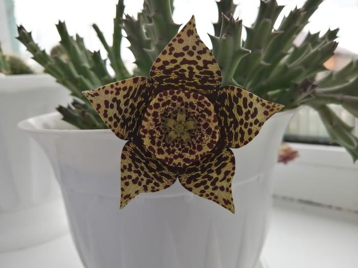 Кактус зацвел. Цветущие кактусы, Красота