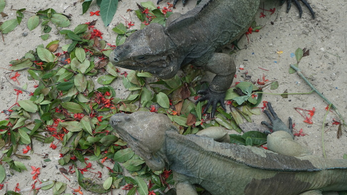 Драконы Доминиканы Почти дракон, Варан, Доминикана, Ящерица, Длиннопост