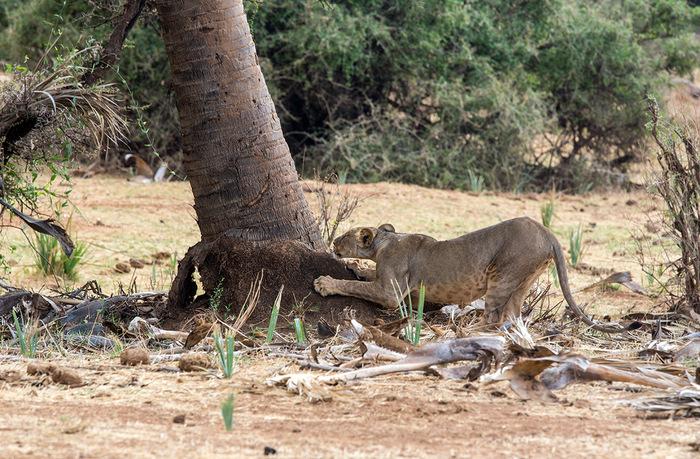 Когтеточка Фотография, Большие кошки, Кения, Африка, Дикие животные