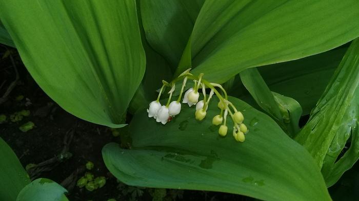 После дождичка в четверг Цветы, Весна, Май, Фотография, Природа