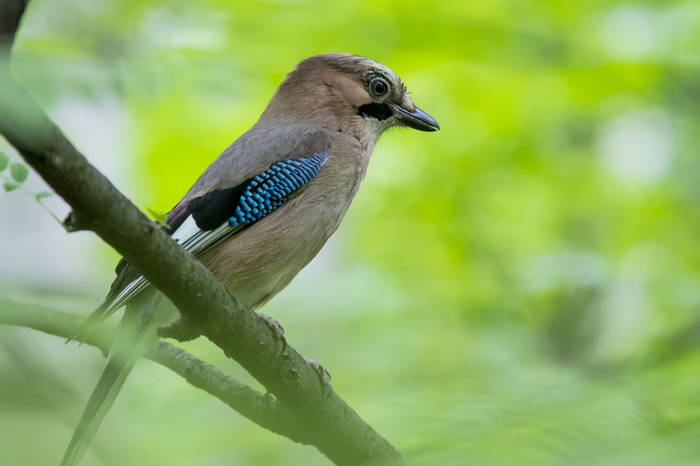 Сойка Фотография, Начинающий фотограф, Nikon d7100, Птицы