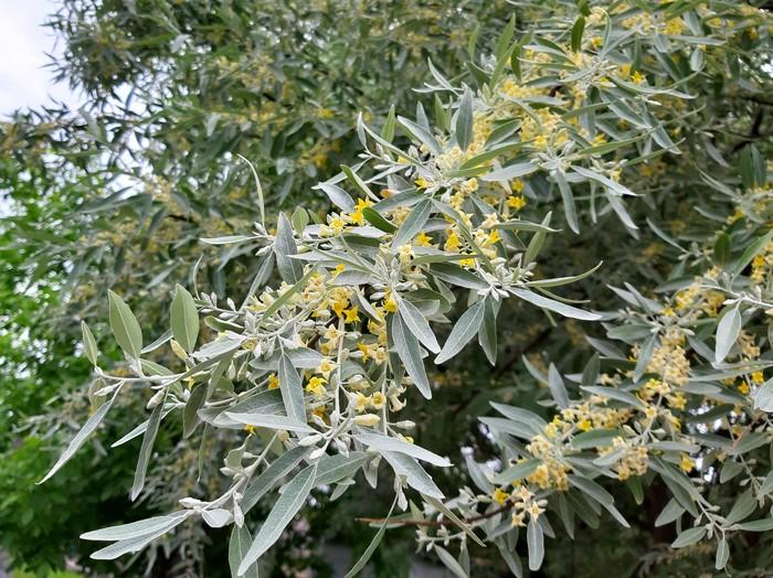 Красивое дерево, и название интересное Дерево, Цветение, Май, Длиннопост