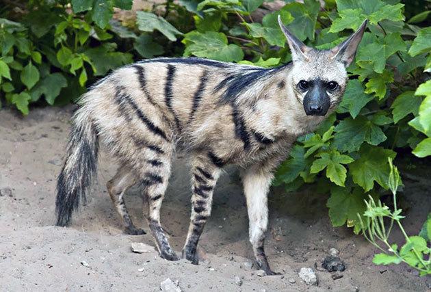 Не все гиены одинаково непорядочны Гиена, Земляной волк, Животные, Длиннопост