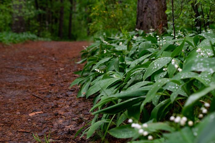 Лесные зарисовки Начинающий фотограф, Фотография, Лес, Ландыши, Длиннопост
