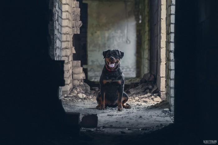 Случайная встреча. Собака, Ротвейлер, Фотография