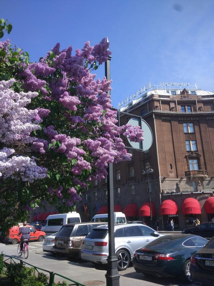 Весна в Петербурге Весна, Санкт-Петербург, Сирень, Исаакиевская площадь, Астория, Красивое, Длиннопост