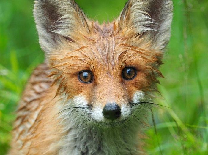 Портрет лисицы . Фотография, Лиса, Дождь, Милота