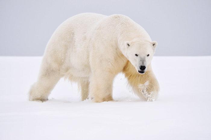 Белый медведь. Из жизни на Севере Север, Белый медведь, Встреча, Неожиданная