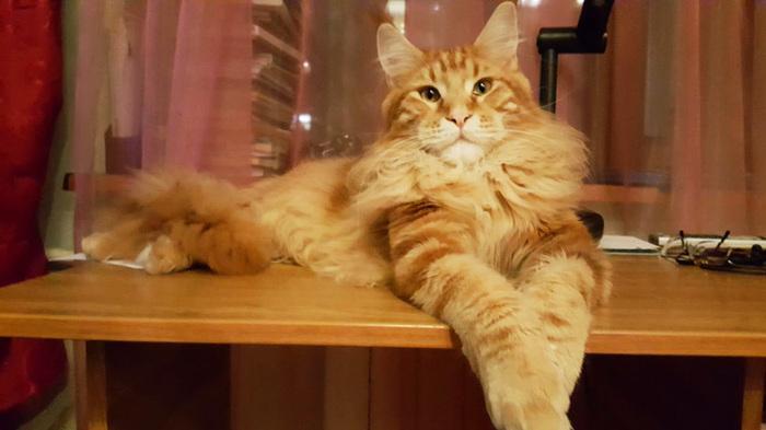 Котиков в ленту Мейн-Кун, Самые большие коты, Длиннопост, Кот