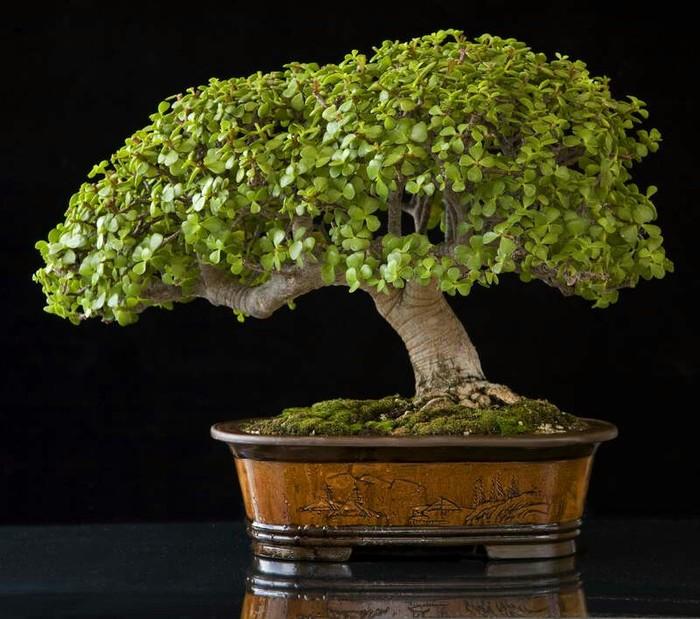Толстянка (денежное дерево) бонсай