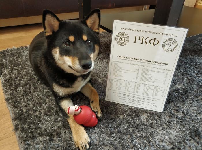 Моя Макки 6 Питомец, Казань, Сиба-Ину, Собака, Длиннопост