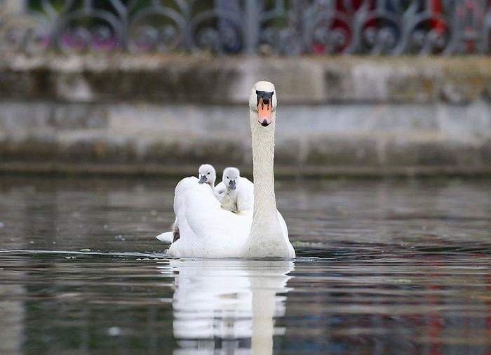 Тепло, уютно, хорошо и безопасно Лебеди, Птенец, Длиннопост