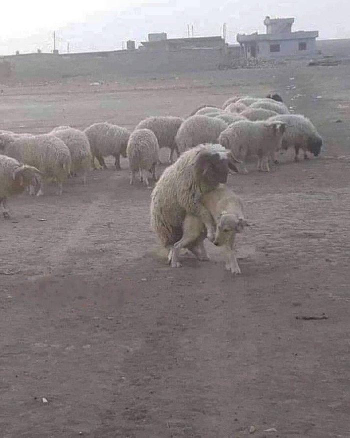 Пастушья собака так себе....