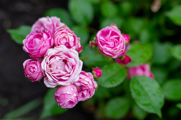 Роза Princess Alexandra of Kent Роза, Цветы, Фотография, Nikon, Мануальная оптика