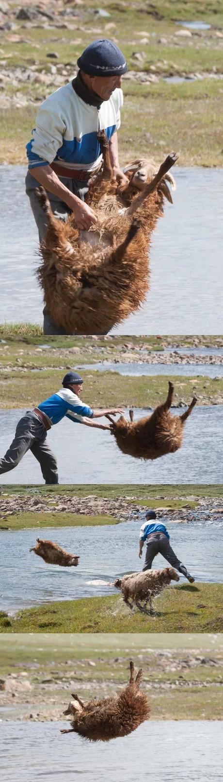 Простой способ помыть овцу Овцы, Мойка, Монголия, 9GAG, Картинки, Длиннопост