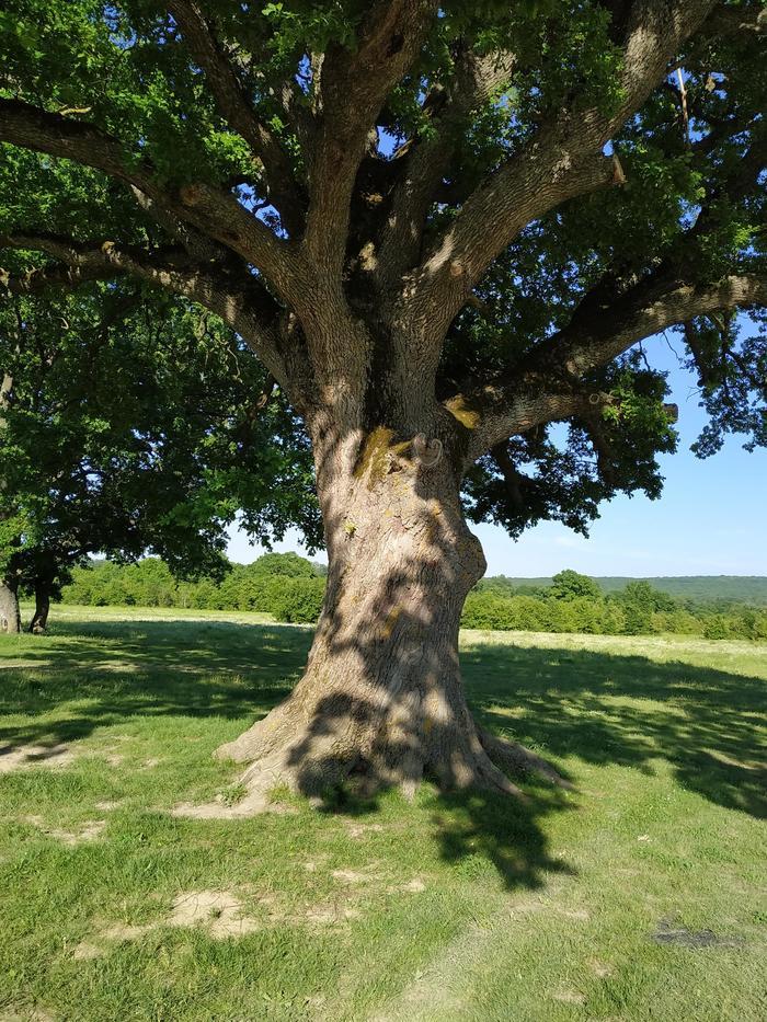 Величественное дерево возле ст. Шапшугской. Краснодарский край