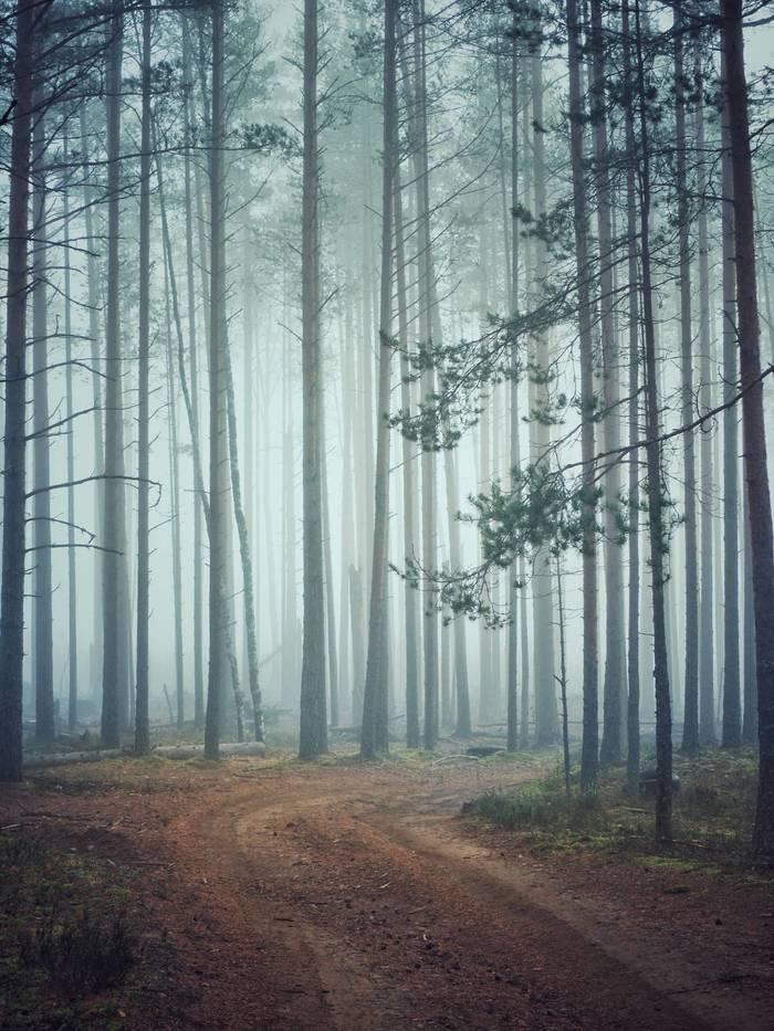 Туман в сосновом бору Фотография, Пейзаж, Туман, Лес, Olympus