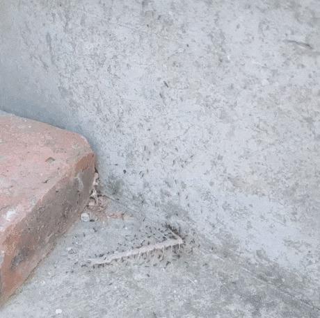 Муравьи поднимают рыбную кость вверх