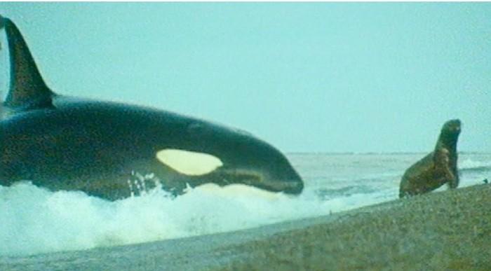 Как косатки ловят тюленей у самого берега. Косатка, BBC, Дикая природа, Охота, Видео, Длиннопост