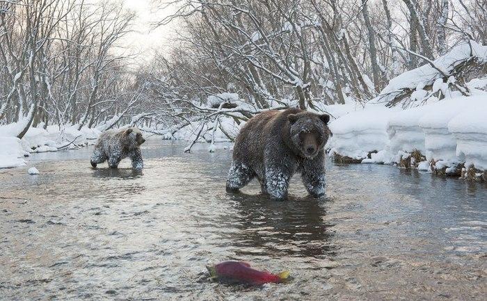 Зимняя рыбалка. Медведь, Дикая природа, Фотография, Рыба