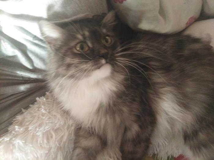 Потерялся кот [Нашли] Потерялся кот, Новосибирск, Помощь, Серый кот, Октябрьский район, Длиннопост, Без рейтинга, Кот
