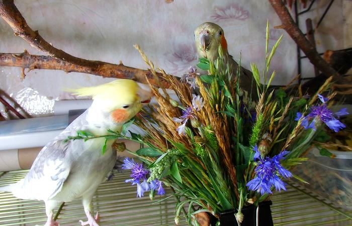 Лето продолжается Попугай, Воробей, Питание, Зелень, Трава, Рацион попугая, Длиннопост