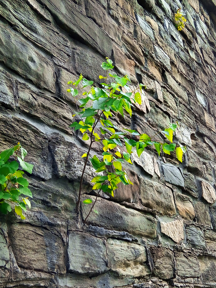 Тяга к жизни Стена, Дерево, Березы