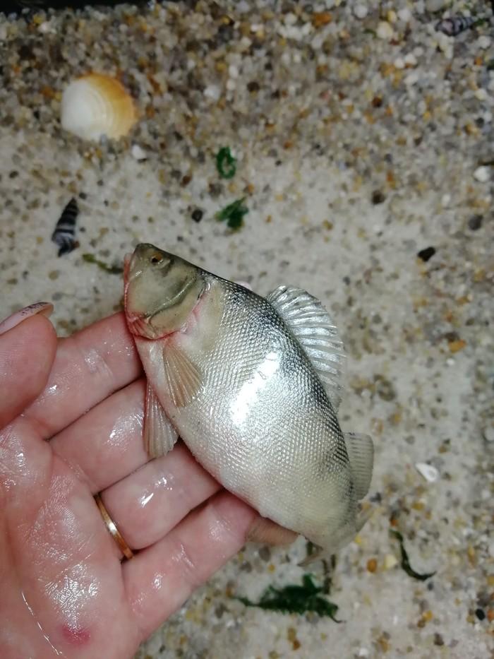 Рыба Полимерная глина, Рыба, Рукоделие без процесса, Творчество, Кружка с декором, Подарок, Длиннопост