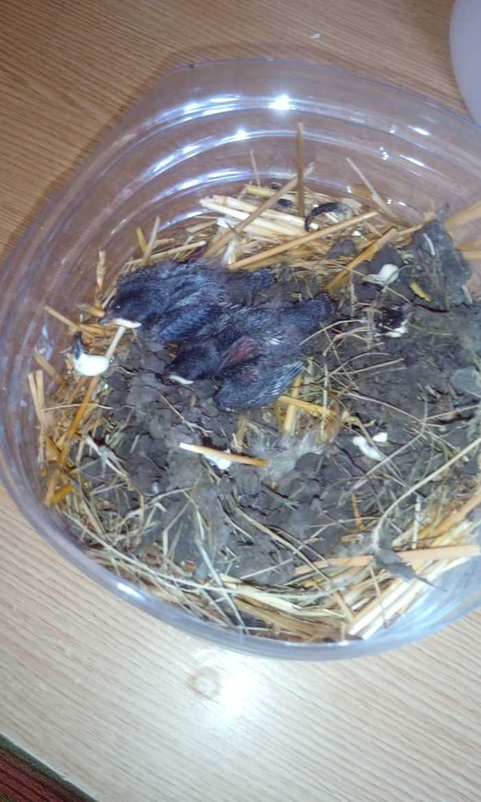 Помогите спасти птенцов! Птицы, Ласточка, Длиннопост