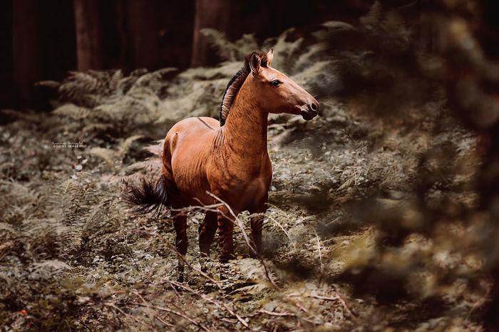 Зорс - гибрид лошади и зебры Зорс, Зеброконь, Гибрид, Животные, Carina Maiwald, Зебра, Лошади, Длиннопост