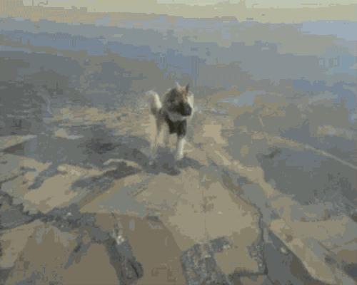 Четвероногие парашютисты Парашют, Животные, Собаки и люди, Собака, Длиннопост, Гифка