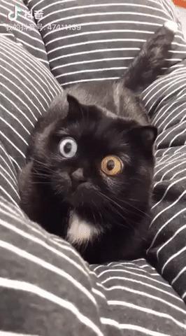 Максимум зрения Кот, Глаза, Гетерохромия, Гифка, Зрачки, Milkyblvck