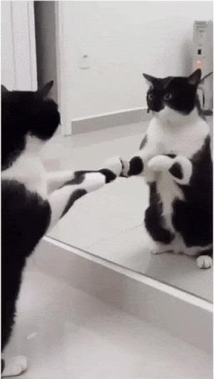 Когда столкнулся с чем-то непостижимо прекрасным Кот, Самолюбование, Нарциссизм, Зеркало, Гифка