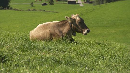 Домашние животные - это не только кошки и собаки. Корова. Хватит обходить вниманием этих красивых и вкусных животных! Корова, Трава, Чудо-Трава, Гифка, Длиннопост
