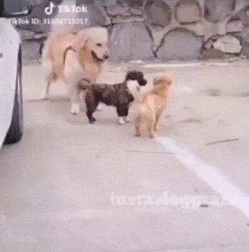 Подстрекатель Собака, Щенки, Животные, Подстрекать, Схватка, Позитив, Видео, Гифка