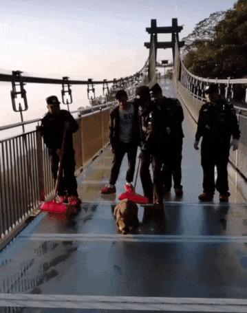 Приключение кабанчика на стеклянном мосту. Китай, Стеклянный мост, Кабан, Гифка, Длиннопост
