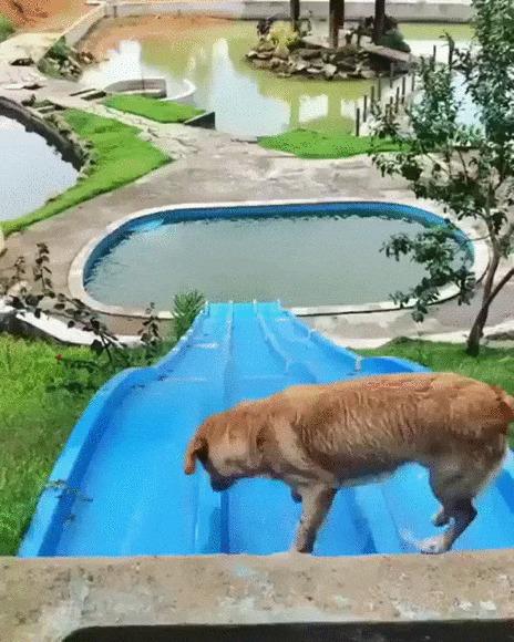 Веселые горки Собака, Домашние животные, Бассейн, Горка, Катание, Позитив, Видео, Гифка