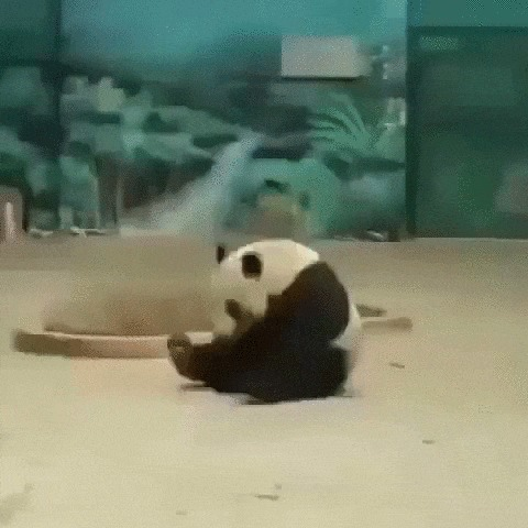 Панда - акробат Панда, Животные, Зоопарк, Кувырок, Позитив, Гифка