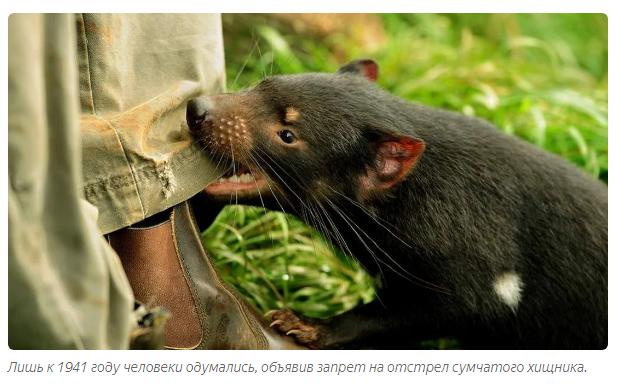 Тасманский дьявол: «Закрой свой Зубальник!» или статья про самого безумного хищника - фото 9