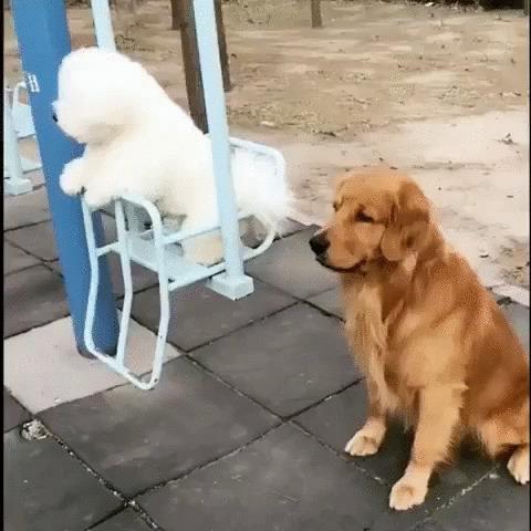 Настоящий джентльмен Собака, Золотистый ретривер, Бишон фризе, Домашние животные, Качели, Милота, Гифка