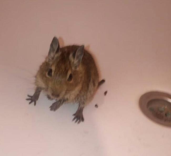Что за зверь такой Дегу? Дегу, Животные, Грызуны, Крыса, Мышь, Крысы и мыши, Юмор, Длиннопост, Домашние животные